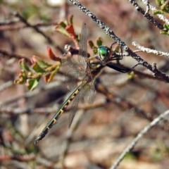 Hemicordulia australiae (Australian Emerald) at Acton, ACT - 10 Apr 2019 by RodDeb