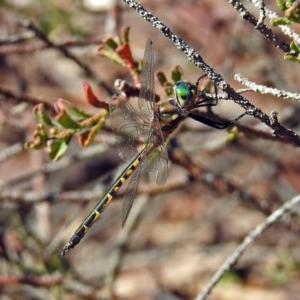 Hemicordulia australiae at ANBG - 10 Apr 2019