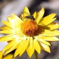 Geron sp. (genus) (Slender Bee Fly) at Acton, ACT - 10 Apr 2019 by RodDeb