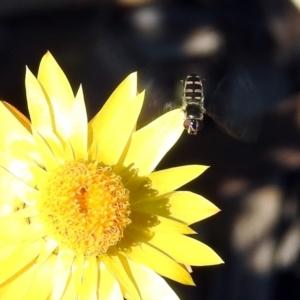Melangyna viridiceps at ANBG - 10 Apr 2019