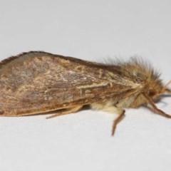 Fraus simulans (Varied Fraus Moth) at Evatt, ACT - 5 Apr 2019 by TimL