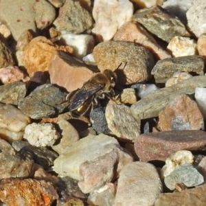 Leioproctus (Leioproctus) amabilis at ANBG - 10 Apr 2019
