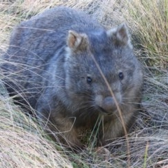 Vombatus ursinus (Wombat) at Mongarlowe River - 4 Jul 2018 by LisaH