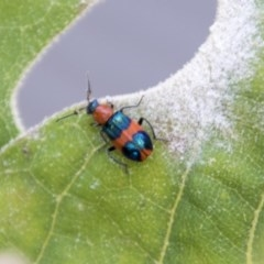 Dicranolaius bellulus (Red and Blue Pollen Beetle) at Belconnen, ACT - 6 Apr 2019 by AlisonMilton