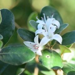 Correa alba var. alba (White Correa) at Narrawallee Bushcare - 12 Apr 2019 by NicholasdeJong