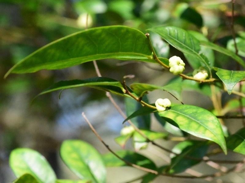Glochidion ferdinandi var. ferdinandi at Narrawallee Foreshore Reserves Walking Track - 12 Apr 2019