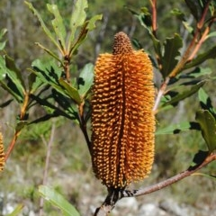 Banksia paludosa subsp. paludosa (Swamp Banksia) at Jervis Bay National Park - 31 Mar 2016 by NicholasdeJong