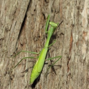 Pseudomantis albofimbriata at ANBG - 12 Mar 2019