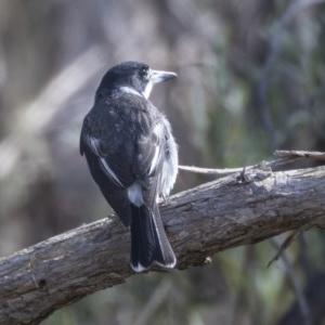 Cracticus torquatus at Gossan Hill - 8 Apr 2019