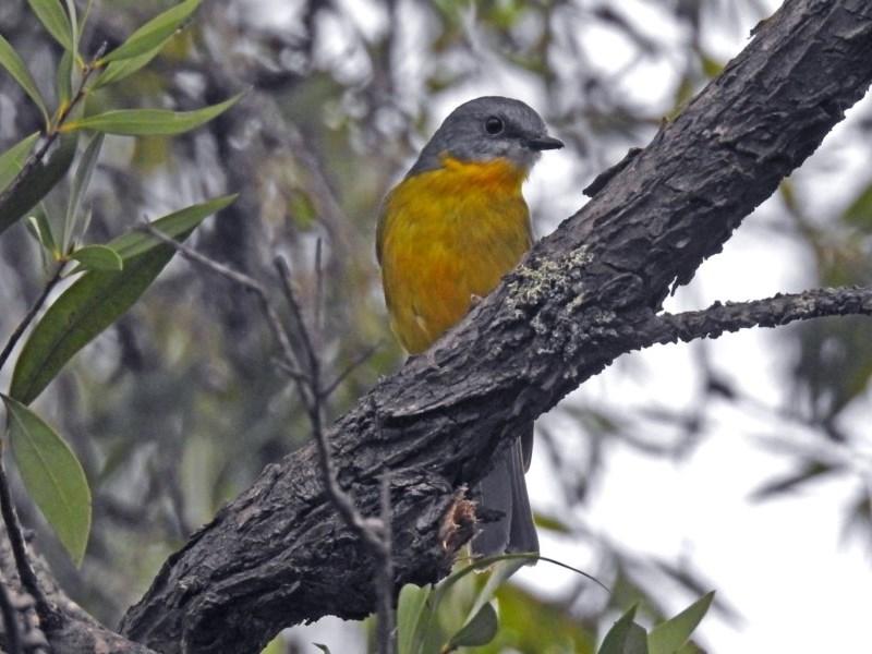Eopsaltria australis at ANBG - 12 Apr 2019