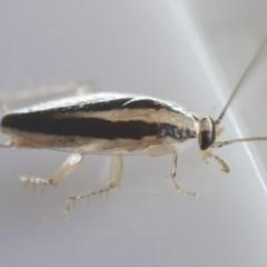 Ectoneura minima at Michelago, NSW - 9 Feb 2019