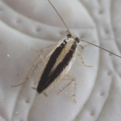 Ectoneura minima at Illilanga & Baroona - 9 Feb 2019