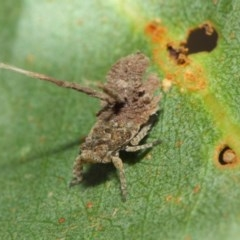 Platybrachys sp. (genus) (A gum hopper) at ANBG - 15 Feb 2019 by TimL