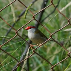 Neochmia temporalis (Red-browed Finch) at Acton, ACT - 13 Apr 2019 by dimageau