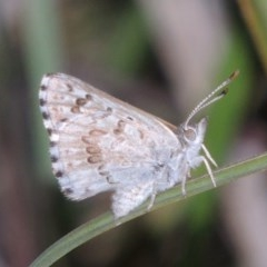 Lucia limbaria (Chequered Copper) at Conder, ACT - 2 Mar 2019 by michaelb