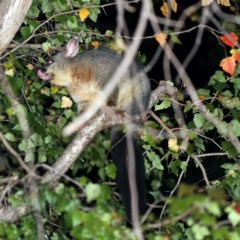 Trichosurus vulpecula (Common Brushtail Possum) at O'Connor, ACT - 13 Apr 2019 by ibaird