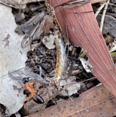 Ptilogyna sp. (genus) (A crane fly) at Mount Painter - 6 Apr 2019 by CathB
