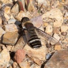 Villa sp. (genus) (Unidentified Villa bee fly) at Namadgi National Park - 13 Apr 2019 by rawshorty
