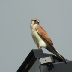 Falco cenchroides (Nankeen Kestrel) at Berry, NSW - 20 Mar 2019 by Andrejs