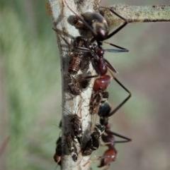 Acizzia sp. (genus) at Aranda Bushland - 14 Apr 2019