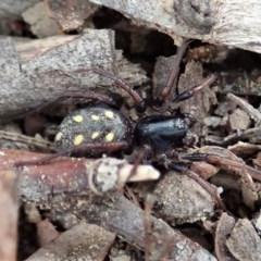 Habronestes sp. (genus) (An ant-eating spider) at Aranda Bushland - 4 Apr 2019 by CathB