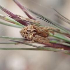 Backobourkia sp. (genus) at Mount Painter - 14 Apr 2019