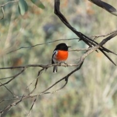 Petroica boodang (Scarlet Robin) at Michelago, NSW - 13 Apr 2019 by KumikoCallaway