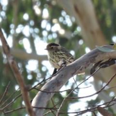 Pyrrholaemus sagittata (Speckled Warbler) at Michelago, NSW - 13 Apr 2019 by KumikoCallaway