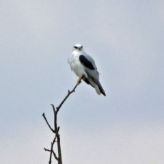 Elanus axillaris (Black-shouldered Kite) at Jerrabomberra Wetlands - 14 Apr 2019 by RodDeb