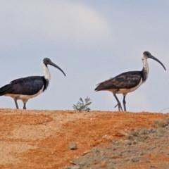 Threskiornis spinicollis (Straw-necked Ibis) at Jerrabomberra Wetlands - 14 Apr 2019 by RodDeb