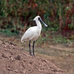 Platalea regia (Royal Spoonbill) at Jerrabomberra Wetlands - 14 Apr 2019 by RodDeb