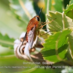 BOMBYLIIDAE at South Pacific Heathland Reserve - 13 Apr 2019