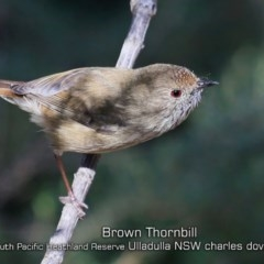 Acanthiza pusilla (Brown Thornbill) at South Pacific Heathland Reserve - 10 Apr 2019 by CharlesDove