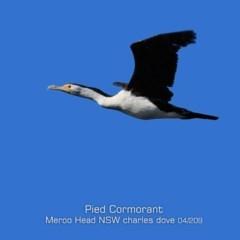 Phalacrocorax varius (Pied Cormorant) at Meroo National Park - 11 Apr 2019 by Charles Dove