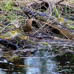 Zosterops lateralis (Silvereye) at Meroo National Park - 11 Apr 2019 by Charles Dove