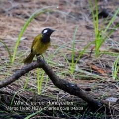 Nesoptilotis leucotis (White-eared Honeyeater) at Meroo National Park - 11 Apr 2019 by Charles Dove