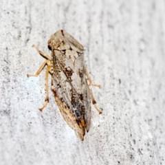 Stenocotis sp. (genus) (A Leafhopper) at Black Mountain - 8 Apr 2019 by AlisonMilton
