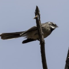 Rhipidura fuliginosa (Grey Fantail) at Gossan Hill - 8 Apr 2019 by Alison Milton