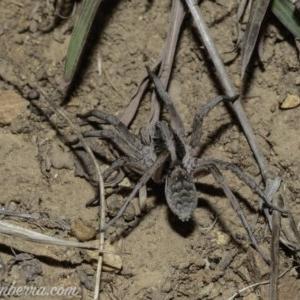 Tasmanicosa sp. (genus) at Red Hill Nature Reserve - 6 Apr 2019