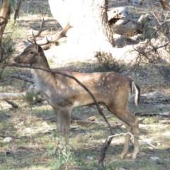 Dama dama (Fallow Deer) at Michelago, NSW - 13 Apr 2019 by KumikoCallaway