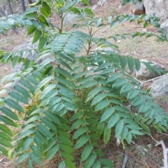 Ailanthus altissima at Isaacs Ridge and Nearby - 16 Apr 2019