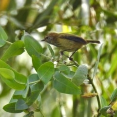 Acanthiza lineata (Striated Thornbill) at ANBG - 15 Apr 2019 by RodDeb