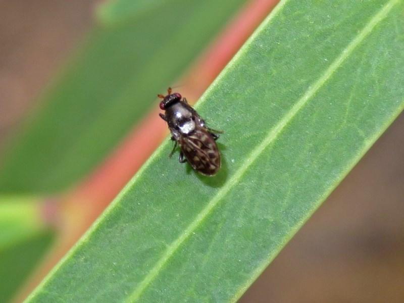 Sphaeroceridae sp. (family) at ANBG - 15 Apr 2019