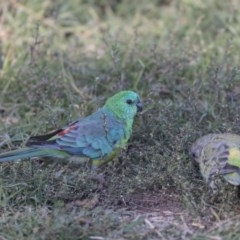 Psephotus haematonotus (Red-rumped Parrot) at Jerrabomberra Wetlands - 16 Apr 2019 by Alison Milton
