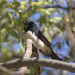 Rhipidura leucophrys (Willie Wagtail) at Jerrabomberra Wetlands - 16 Apr 2019 by Alison Milton