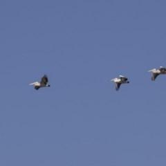 Pelecanus conspicillatus (Australian Pelican) at Jerrabomberra Wetlands - 16 Apr 2019 by Alison Milton