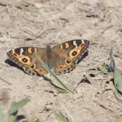 Junonia villida (Meadow Argus) at Jerrabomberra Wetlands - 16 Apr 2019 by AlisonMilton