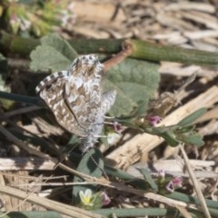 Theclinesthes serpentata (Saltbush Blue) at Fyshwick, ACT - 16 Apr 2019 by AlisonMilton