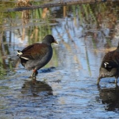 Gallinula tenebrosa (Dusky Moorhen) at Jerrabomberra Wetlands - 15 Apr 2019 by Mike
