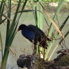 Porphyrio melanotus (Australasian Swamphen) at Jerrabomberra Wetlands - 15 Apr 2019 by Mike